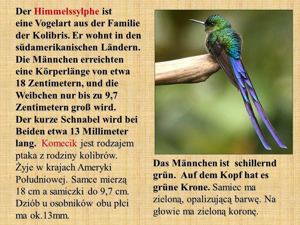 Der Himmelssylphe ist eine Vogelart aus der Familie der Kolibris