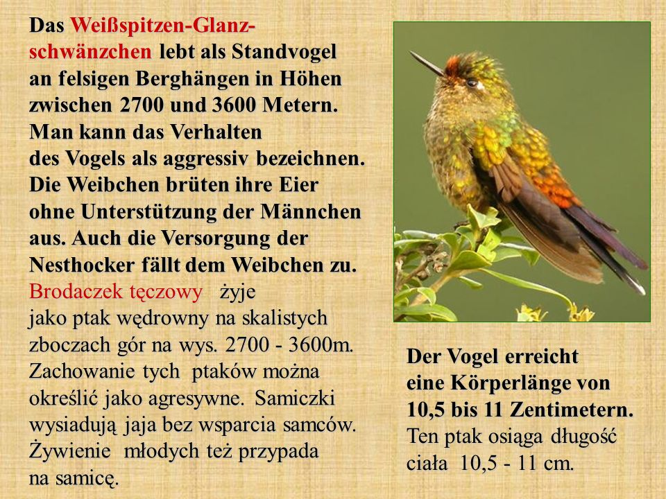 Das Weißspitzen-Glanz- schwänzchen lebt als Standvogel an felsigen Berghängen in Höhen zwischen 2700 und 3600 Metern. Man kann das Verhalten des Vogels als aggressiv bezeichnen. Die Weibchen brüten ihre Eier ohne Unterstützung der Männchen aus. Auch die Versorgung der Nesthocker fällt dem Weibchen zu. Brodaczek tęczowy żyje jako ptak wędrowny na skalistych zboczach gór na wys. 2700 - 3600m. Zachowanie tych ptaków można określić jako agresywne. Samiczki wysiadują jaja bez wsparcia samców. Żywienie młodych też przypada na samicę.