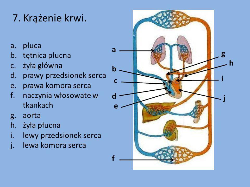7. Krążenie krwi. płuca a tętnica płucna g żyła główna