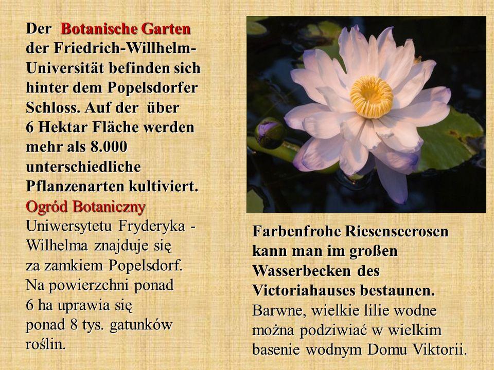 Der Botanische Garten der Friedrich-Willhelm-Universität befinden sich hinter dem Popelsdorfer Schloss. Auf der über 6 Hektar Fläche werden mehr als 8.000 unterschiedliche Pflanzenarten kultiviert. Ogród Botaniczny Uniwersytetu Fryderyka - Wilhelma znajduje się za zamkiem Popelsdorf. Na powierzchni ponad 6 ha uprawia się ponad 8 tys. gatunków roślin.