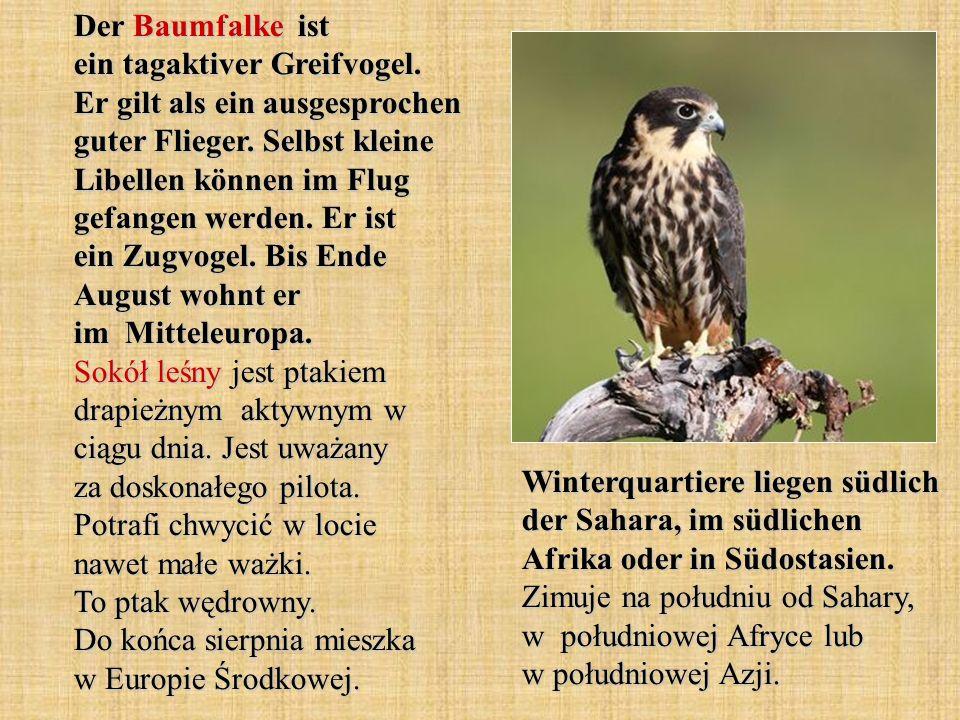 Der Baumfalke ist ein tagaktiver Greifvogel