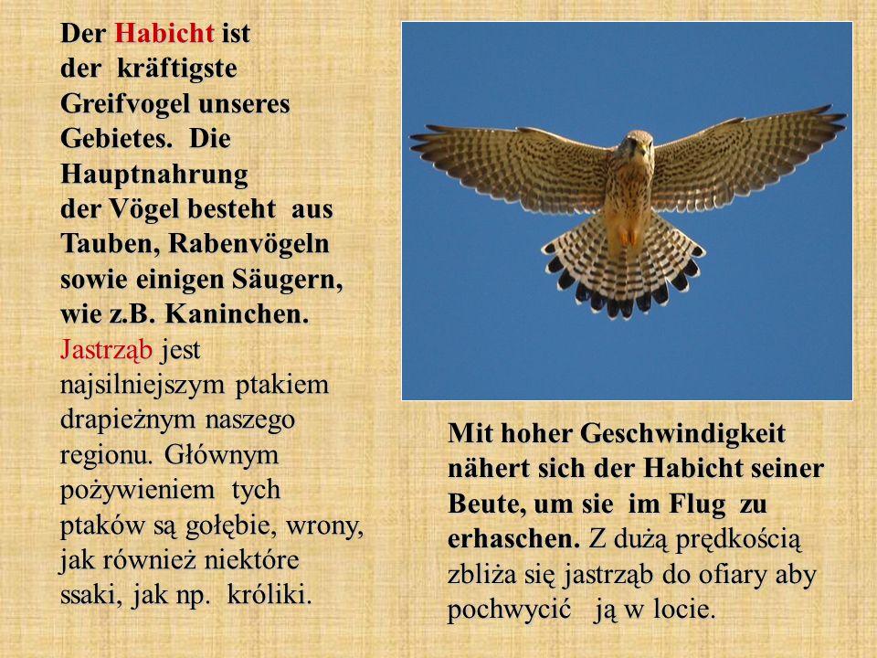 Der Habicht ist der kräftigste Greifvogel unseres Gebietes