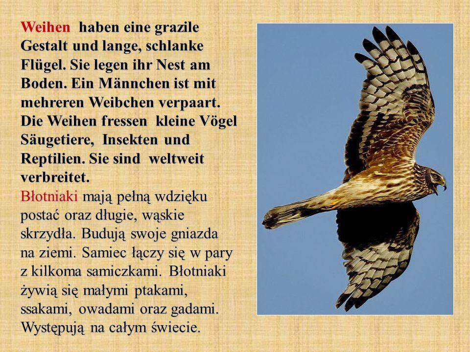 Weihen haben eine grazile Gestalt und lange, schlanke Flügel