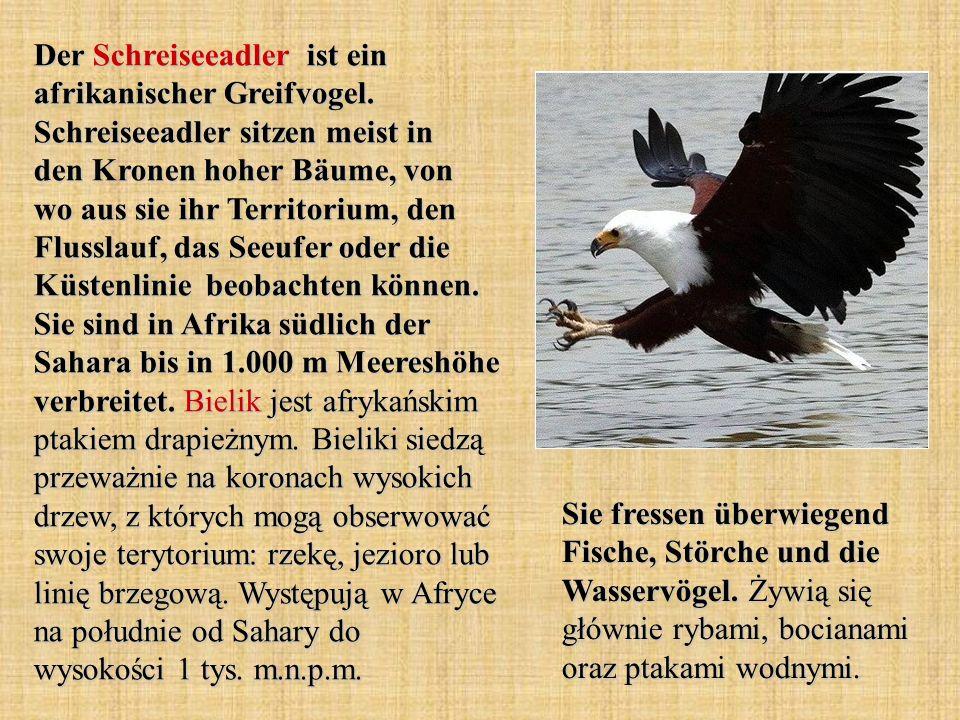 Der Schreiseeadler ist ein afrikanischer Greifvogel