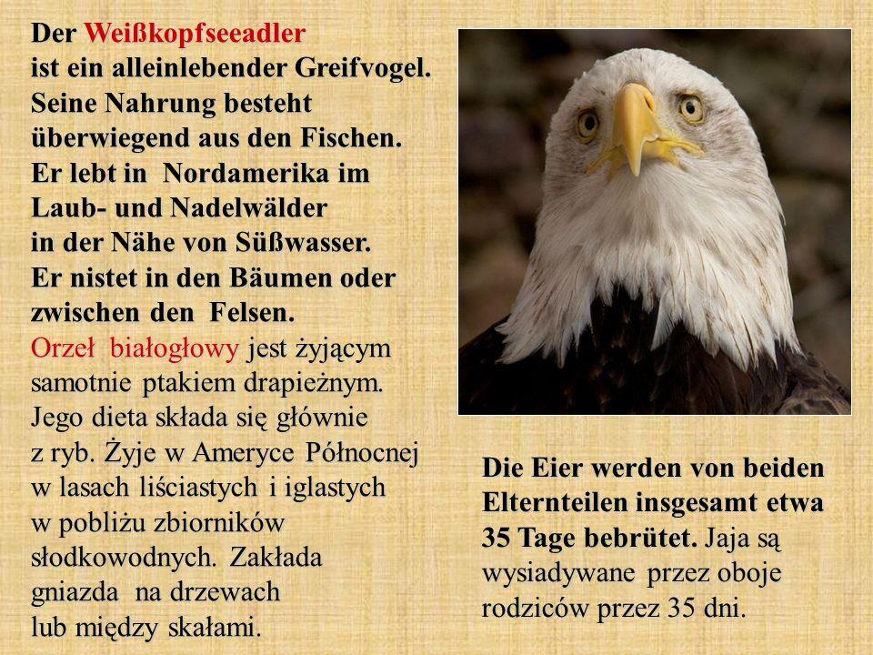 Der Weißkopfseeadler ist ein alleinlebender Greifvogel