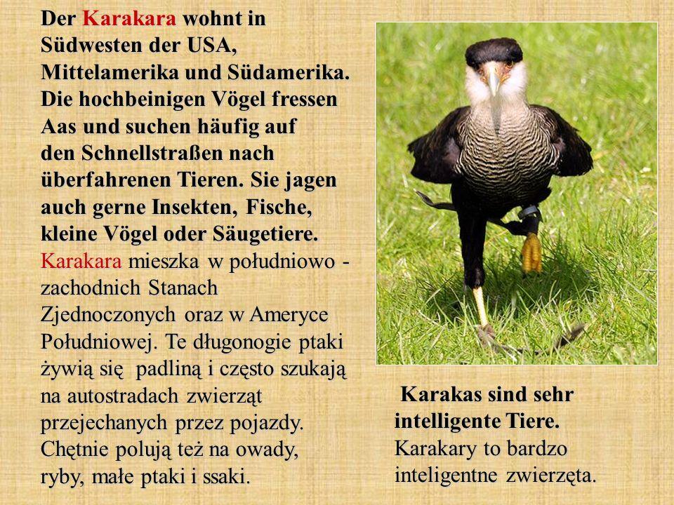 Der Karakara wohnt in Südwesten der USA, Mittelamerika und Südamerika