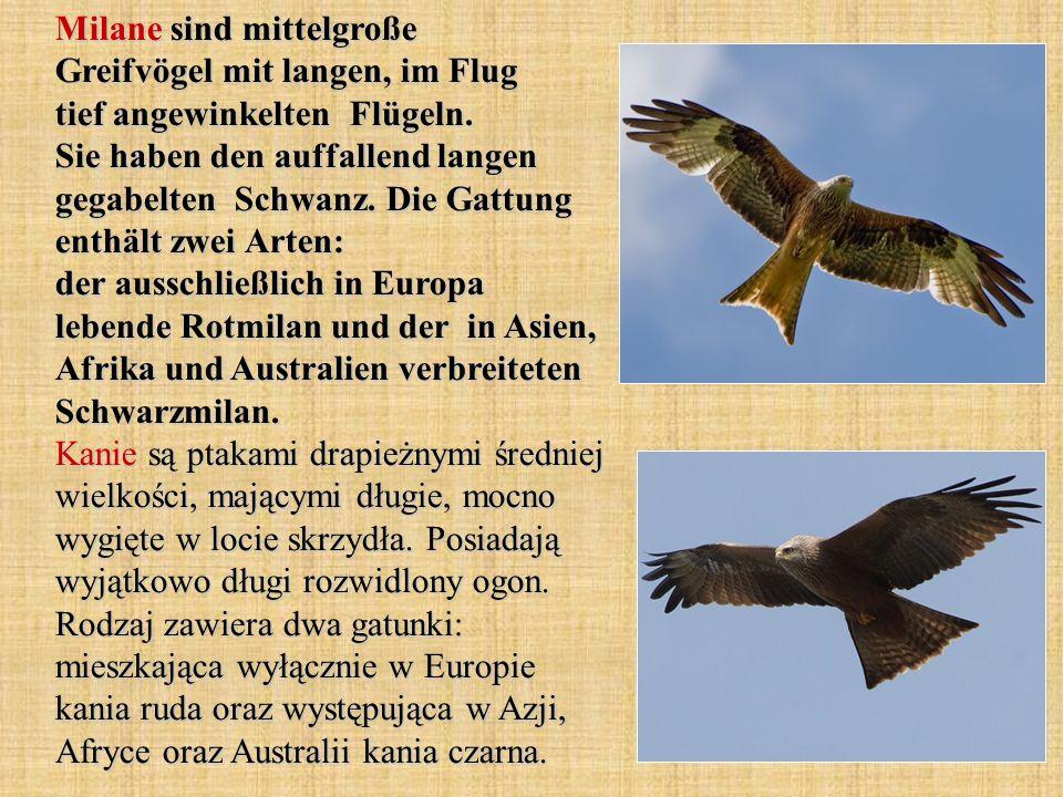 Milane sind mittelgroße Greifvögel mit langen, im Flug tief angewinkelten Flügeln.