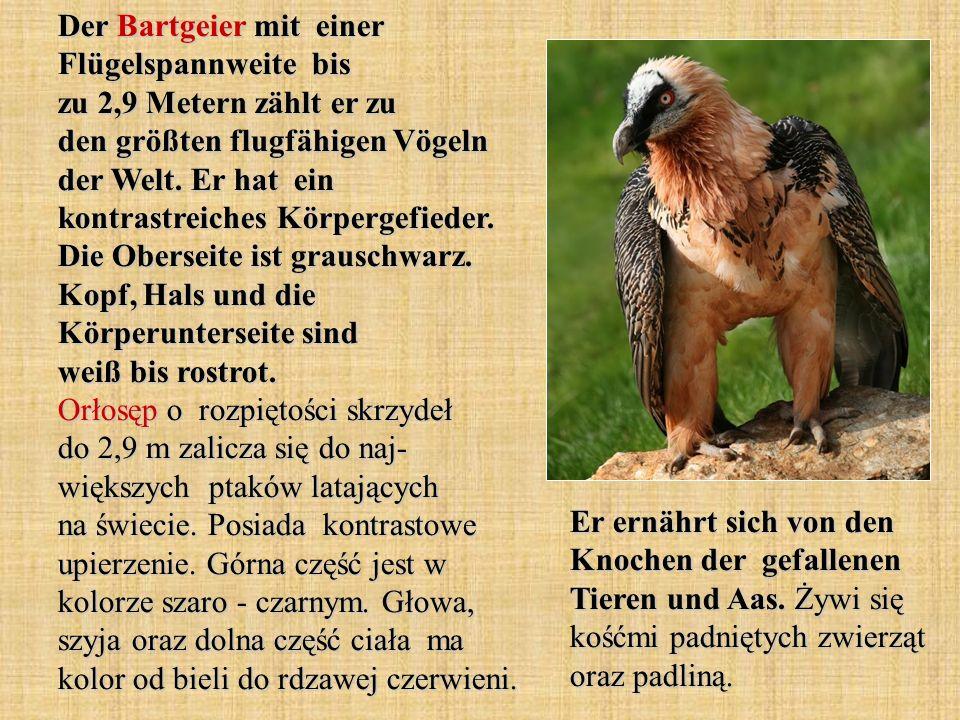 Der Bartgeier mit einer Flügelspannweite bis zu 2,9 Metern zählt er zu den größten flugfähigen Vögeln der Welt. Er hat ein kontrastreiches Körpergefieder. Die Oberseite ist grauschwarz. Kopf, Hals und die Körperunterseite sind weiß bis rostrot. Orłosęp o rozpiętości skrzydeł do 2,9 m zalicza się do naj- większych ptaków latających na świecie. Posiada kontrastowe upierzenie. Górna część jest w kolorze szaro - czarnym. Głowa, szyja oraz dolna część ciała ma kolor od bieli do rdzawej czerwieni.