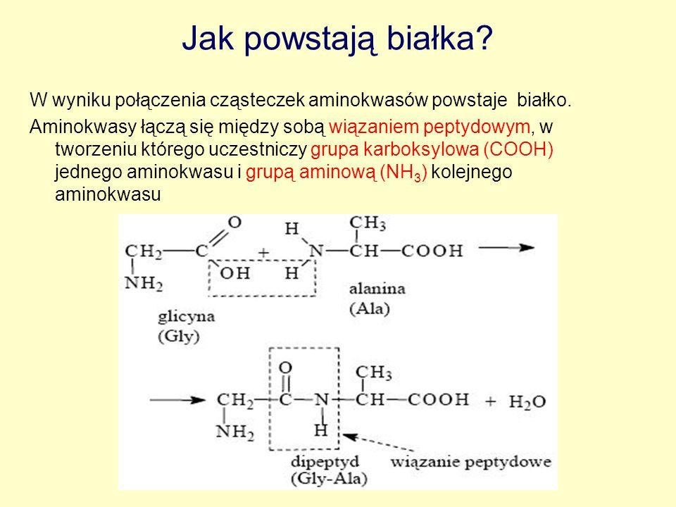 Jak powstają białka W wyniku połączenia cząsteczek aminokwasów powstaje białko.
