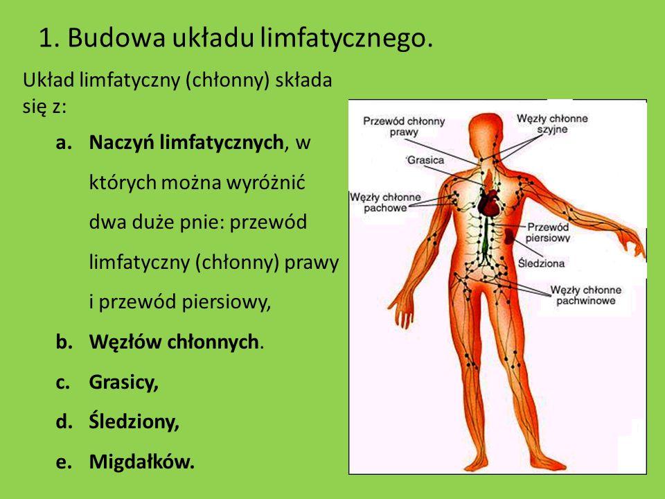 1. Budowa układu limfatycznego.