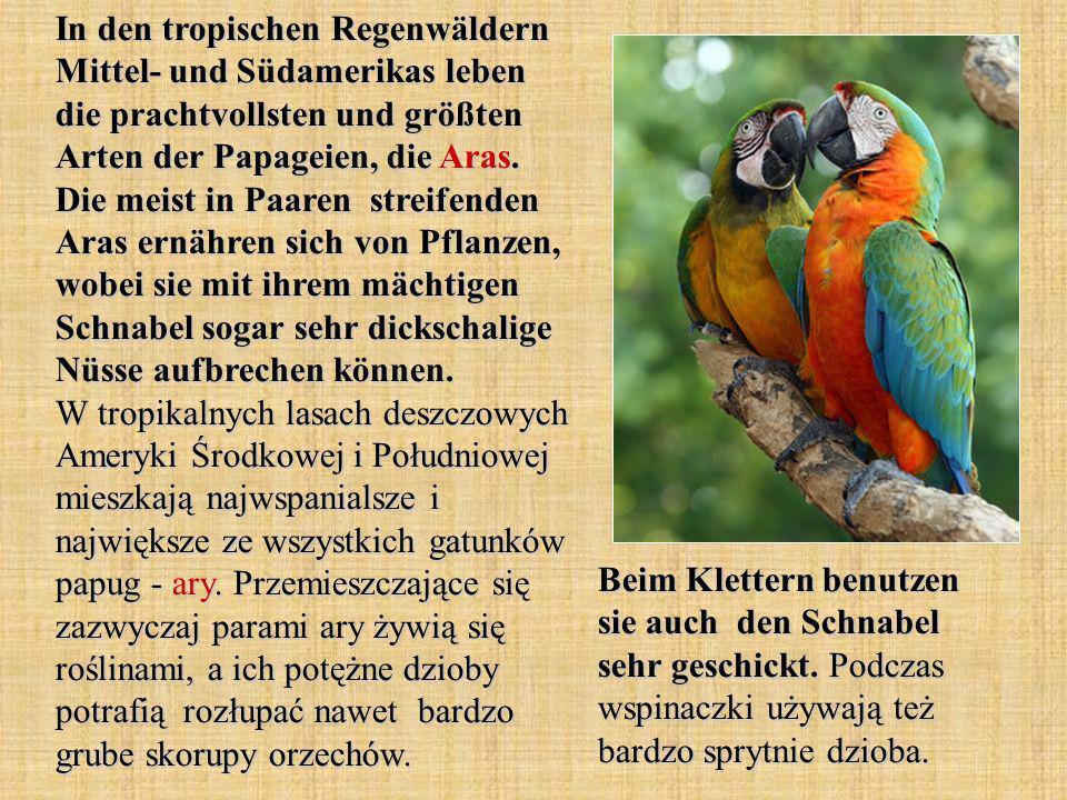 In den tropischen Regenwäldern Mittel- und Südamerikas leben die prachtvollsten und größten Arten der Papageien, die Aras. Die meist in Paaren streifenden Aras ernähren sich von Pflanzen, wobei sie mit ihrem mächtigen Schnabel sogar sehr dickschalige Nüsse aufbrechen können. W tropikalnych lasach deszczowych Ameryki Środkowej i Południowej mieszkają najwspanialsze i największe ze wszystkich gatunków papug - ary. Przemieszczające się zazwyczaj parami ary żywią się roślinami, a ich potężne dzioby potrafią rozłupać nawet bardzo grube skorupy orzechów.