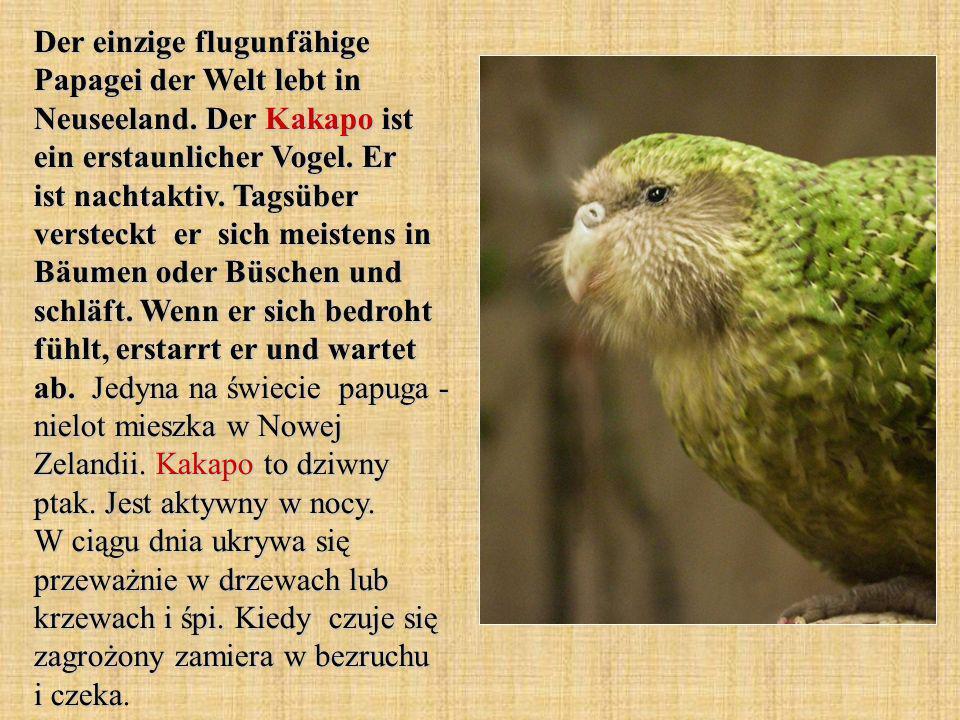 Der einzige flugunfähige Papagei der Welt lebt in Neuseeland