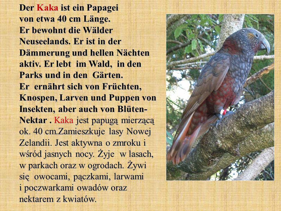 Der Kaka ist ein Papagei von etwa 40 cm Länge