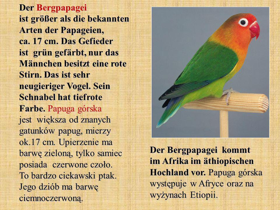 Der Bergpapagei ist größer als die bekannten Arten der Papageien, ca