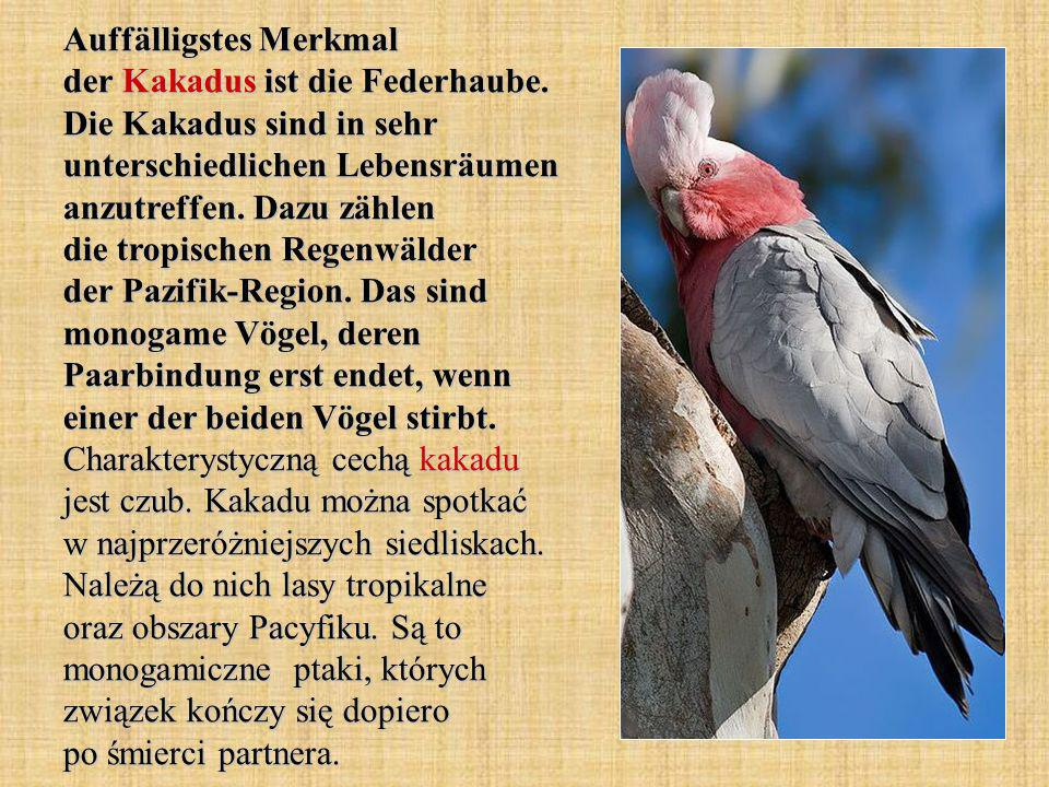 Auffälligstes Merkmal der Kakadus ist die Federhaube