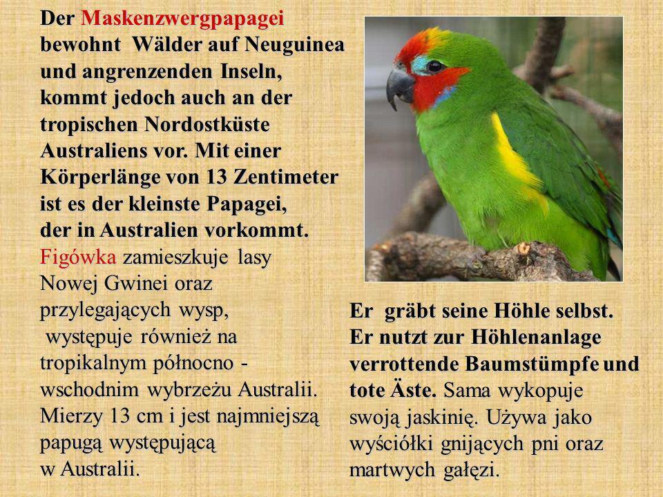 Der Maskenzwergpapagei bewohnt Wälder auf Neuguinea und angrenzenden Inseln, kommt jedoch auch an der tropischen Nordostküste Australiens vor. Mit einer Körperlänge von 13 Zentimeter ist es der kleinste Papagei, der in Australien vorkommt. Figówka zamieszkuje lasy Nowej Gwinei oraz przylegających wysp, występuje również na tropikalnym północno - wschodnim wybrzeżu Australii. Mierzy 13 cm i jest najmniejszą papugą występującą w Australii.