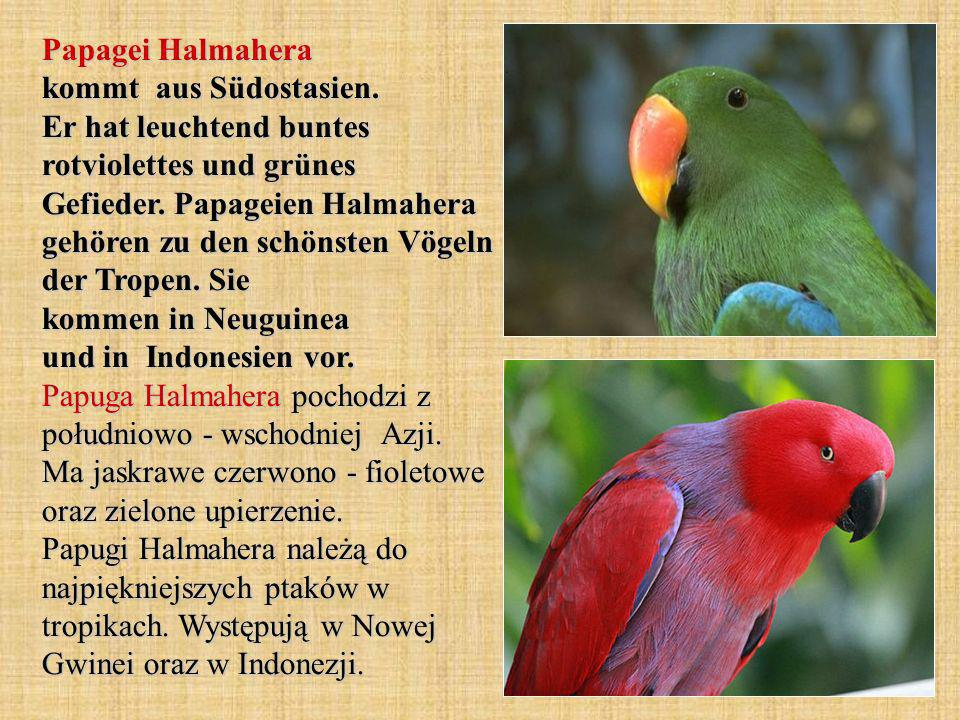 Papagei Halmahera kommt aus Südostasien