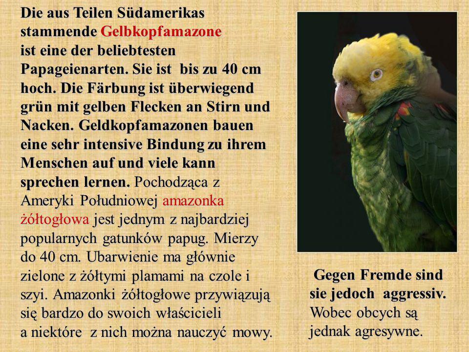 Die aus Teilen Südamerikas stammende Gelbkopfamazone ist eine der beliebtesten Papageienarten. Sie ist bis zu 40 cm hoch. Die Färbung ist überwiegend grün mit gelben Flecken an Stirn und Nacken. Geldkopfamazonen bauen eine sehr intensive Bindung zu ihrem Menschen auf und viele kann sprechen lernen. Pochodząca z Ameryki Południowej amazonka żółtogłowa jest jednym z najbardziej popularnych gatunków papug. Mierzy do 40 cm. Ubarwienie ma głównie zielone z żółtymi plamami na czole i szyi. Amazonki żółtogłowe przywiązują się bardzo do swoich właścicieli a niektóre z nich można nauczyć mowy.