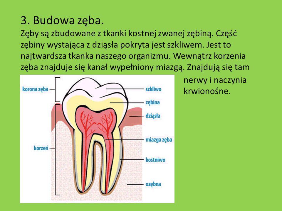 3. Budowa zęba.