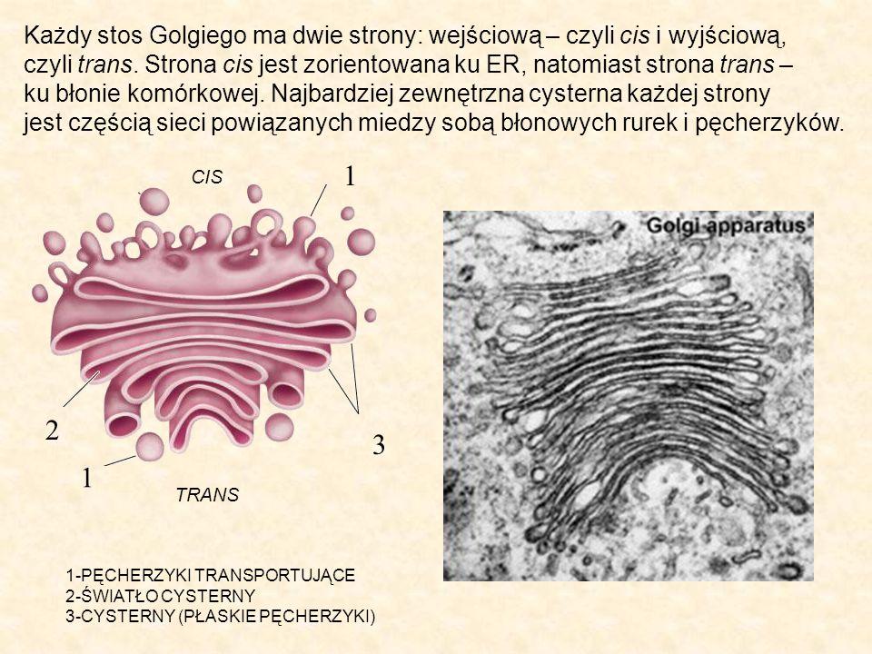 Każdy stos Golgiego ma dwie strony: wejściową – czyli cis i wyjściową,