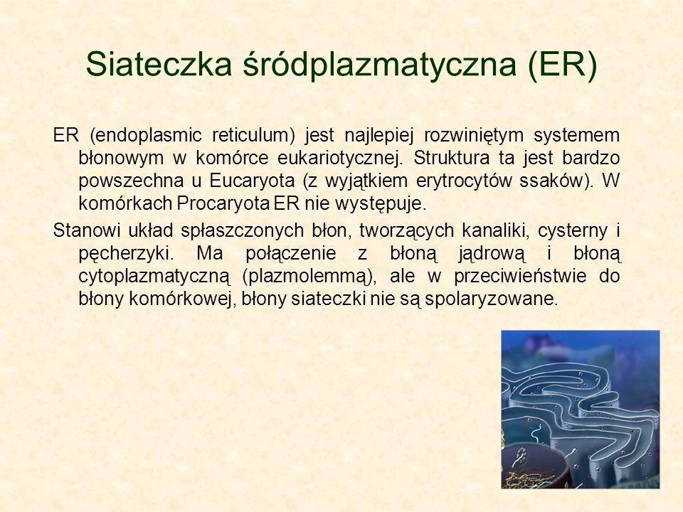 Siateczka śródplazmatyczna (ER)
