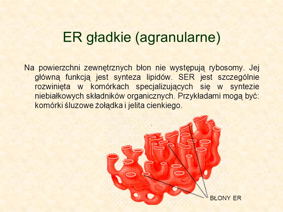 ER gładkie (agranularne)