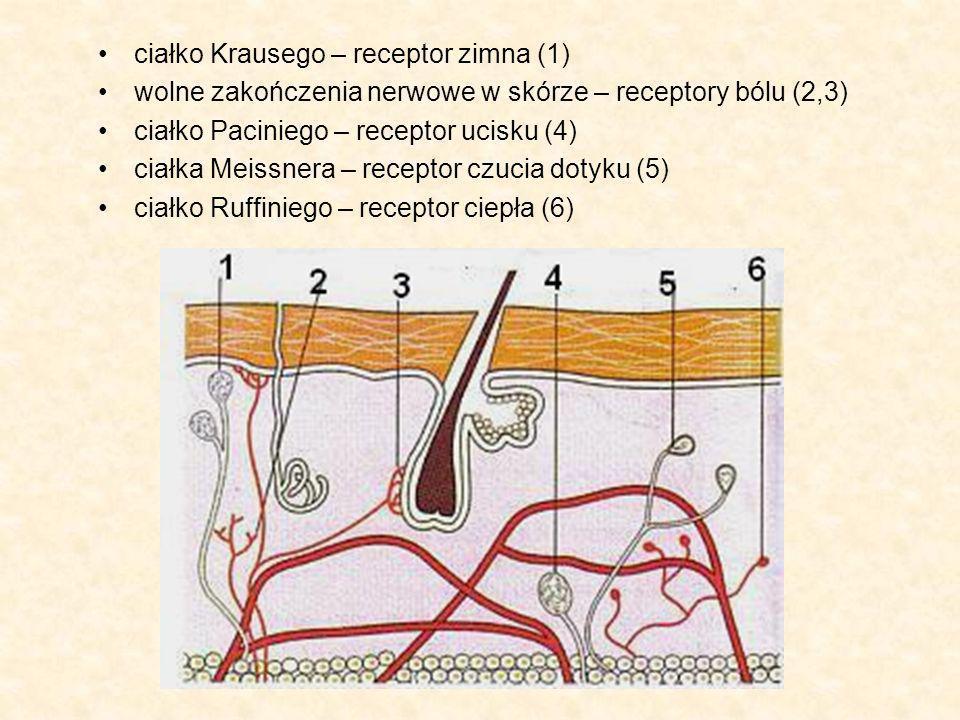 ciałko Krausego – receptor zimna (1)