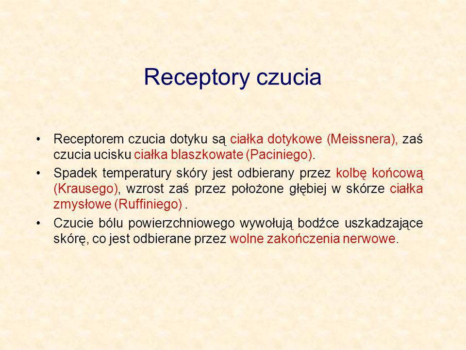 Receptory czucia Receptorem czucia dotyku są ciałka dotykowe (Meissnera), zaś czucia ucisku ciałka blaszkowate (Paciniego).