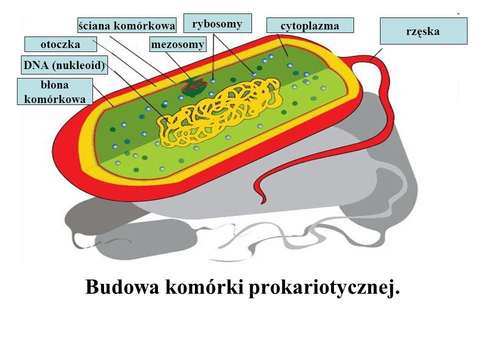 Budowa komórki prokariotycznej.