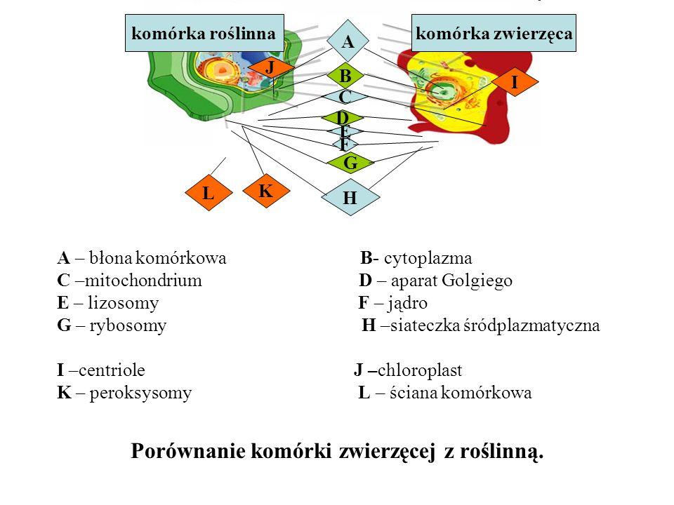 Porównanie komórki zwierzęcej z roślinną.