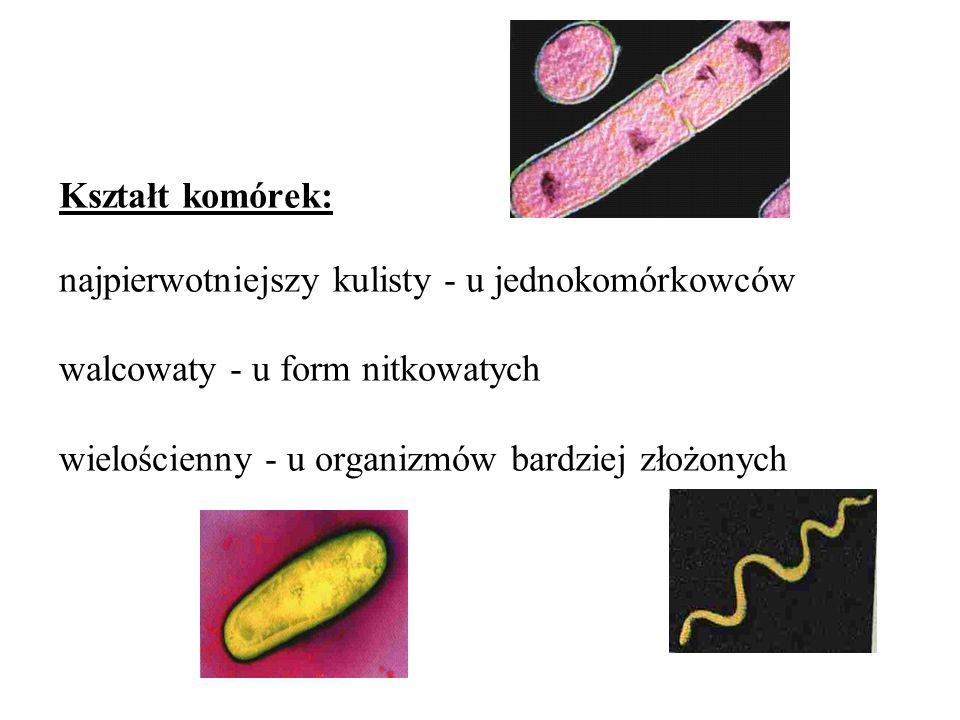 Kształt komórek: najpierwotniejszy kulisty - u jednokomórkowców walcowaty - u form nitkowatych wielościenny - u organizmów bardziej złożonych