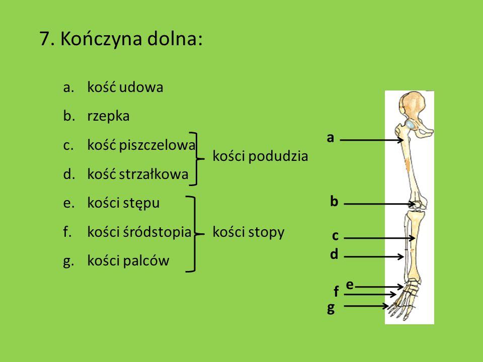 7. Kończyna dolna: kość udowa rzepka kość piszczelowa kość strzałkowa