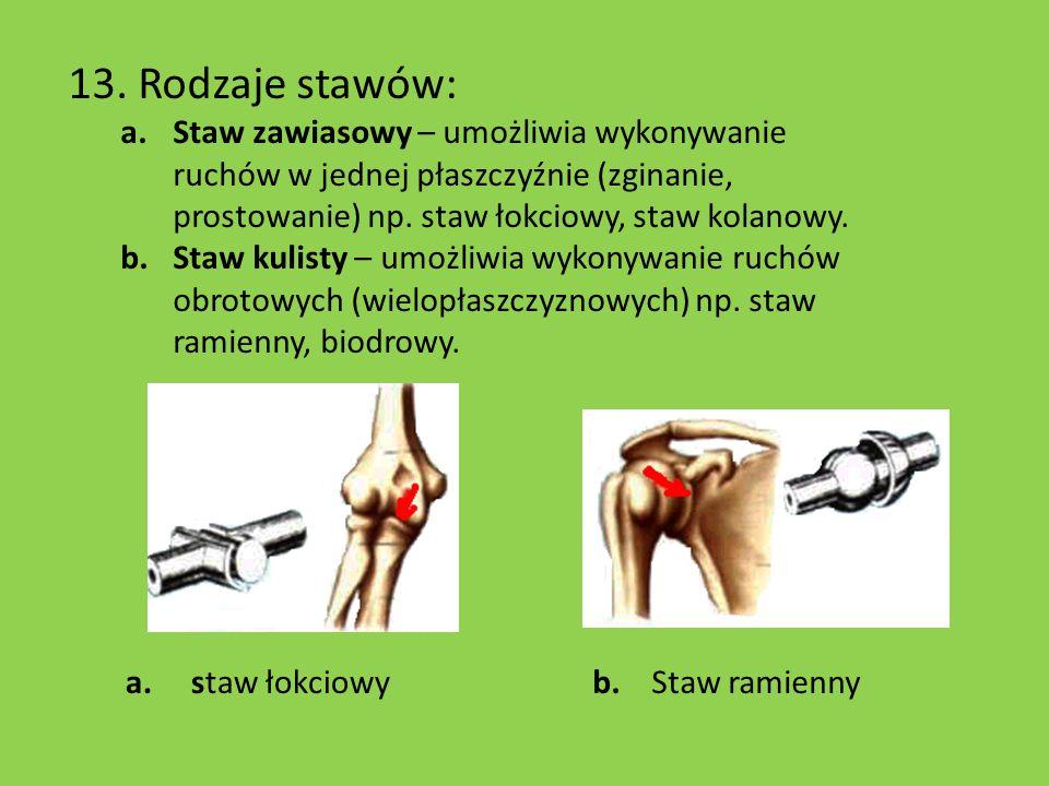 13. Rodzaje stawów: Staw zawiasowy – umożliwia wykonywanie ruchów w jednej płaszczyźnie (zginanie, prostowanie) np. staw łokciowy, staw kolanowy.