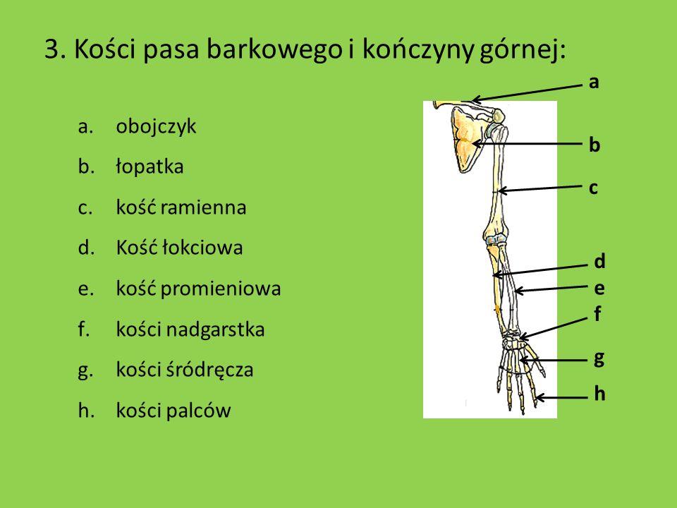 3. Kości pasa barkowego i kończyny górnej: