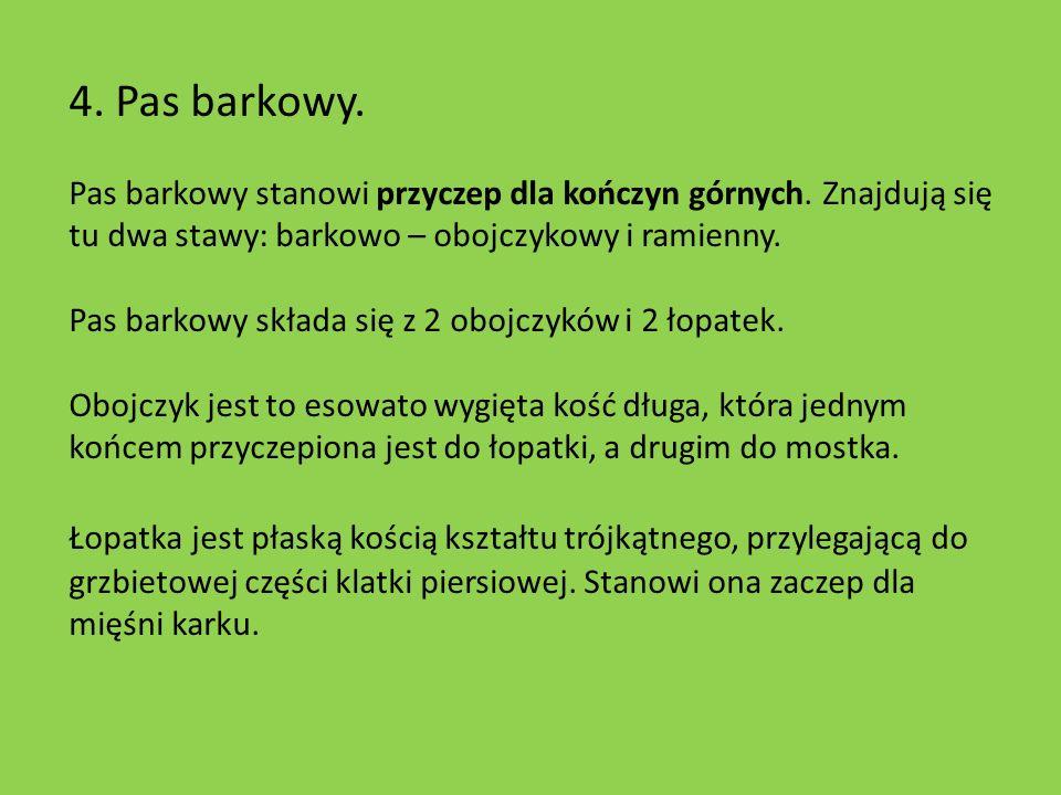 4. Pas barkowy. Pas barkowy stanowi przyczep dla kończyn górnych. Znajdują się tu dwa stawy: barkowo – obojczykowy i ramienny.