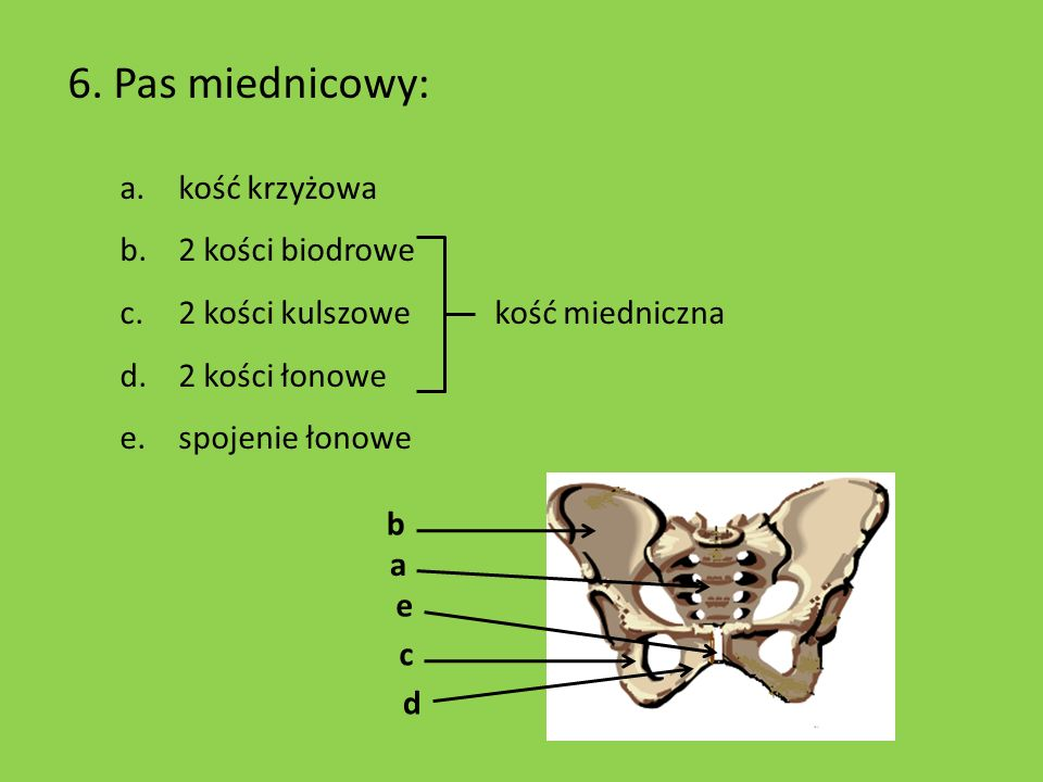 6. Pas miednicowy: kość krzyżowa 2 kości biodrowe