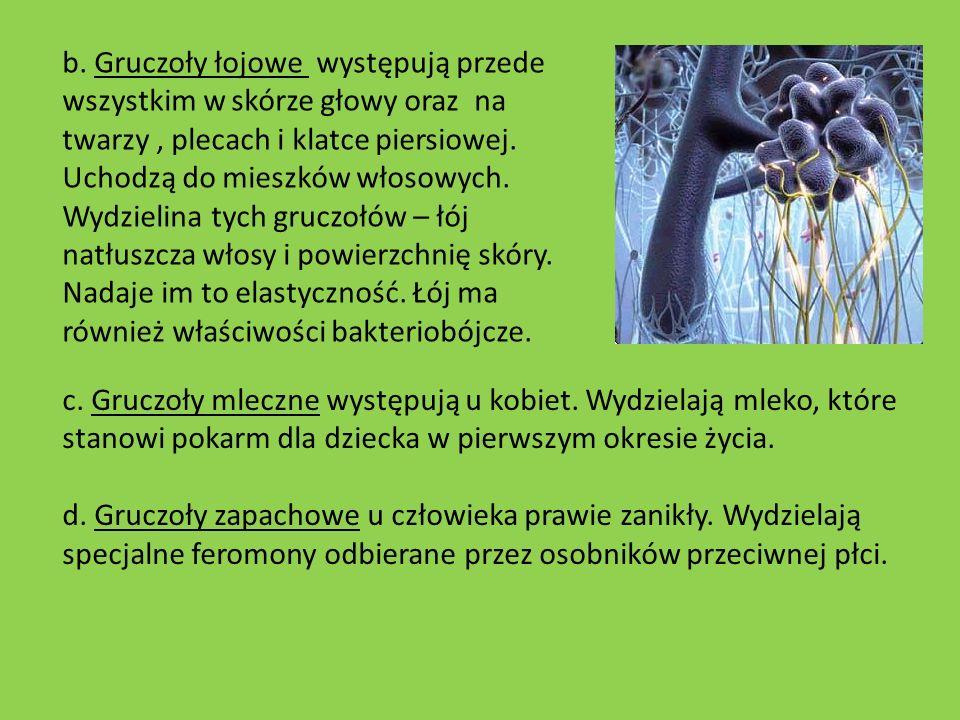 b. Gruczoły łojowe występują przede wszystkim w skórze głowy oraz na twarzy , plecach i klatce piersiowej. Uchodzą do mieszków włosowych. Wydzielina tych gruczołów – łój natłuszcza włosy i powierzchnię skóry. Nadaje im to elastyczność. Łój ma również właściwości bakteriobójcze.