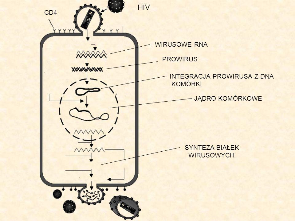 HIV CD4 WIRUSOWE RNA PROWIRUS INTEGRACJA PROWIRUSA Z DNA KOMÓRKI