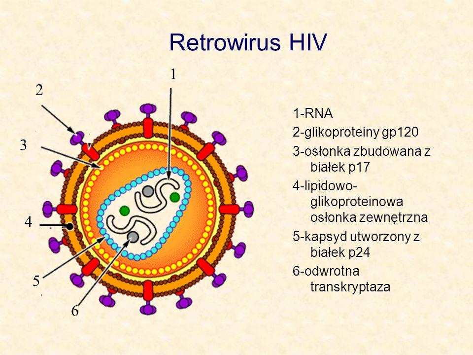 Retrowirus HIV 1 2 3 4 5 6 1-RNA 2-glikoproteiny gp120