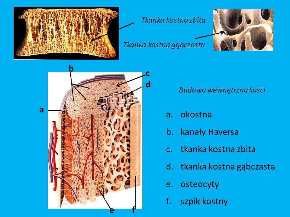 Budowa wewnętrzna kości