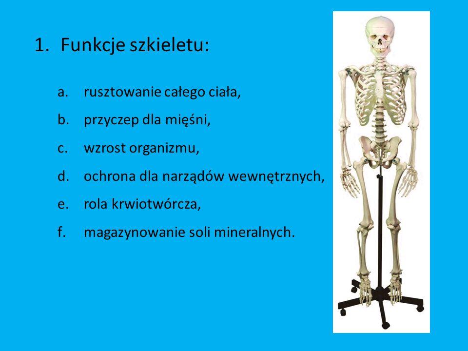 Funkcje szkieletu: rusztowanie całego ciała, przyczep dla mięśni,