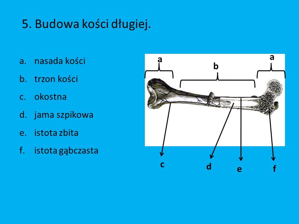 5. Budowa kości długiej. nasada kości trzon kości okostna
