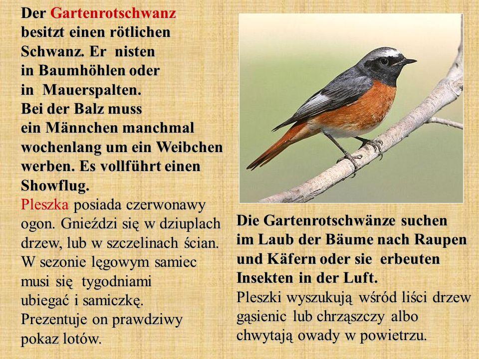 Der Gartenrotschwanz besitzt einen rötlichen Schwanz