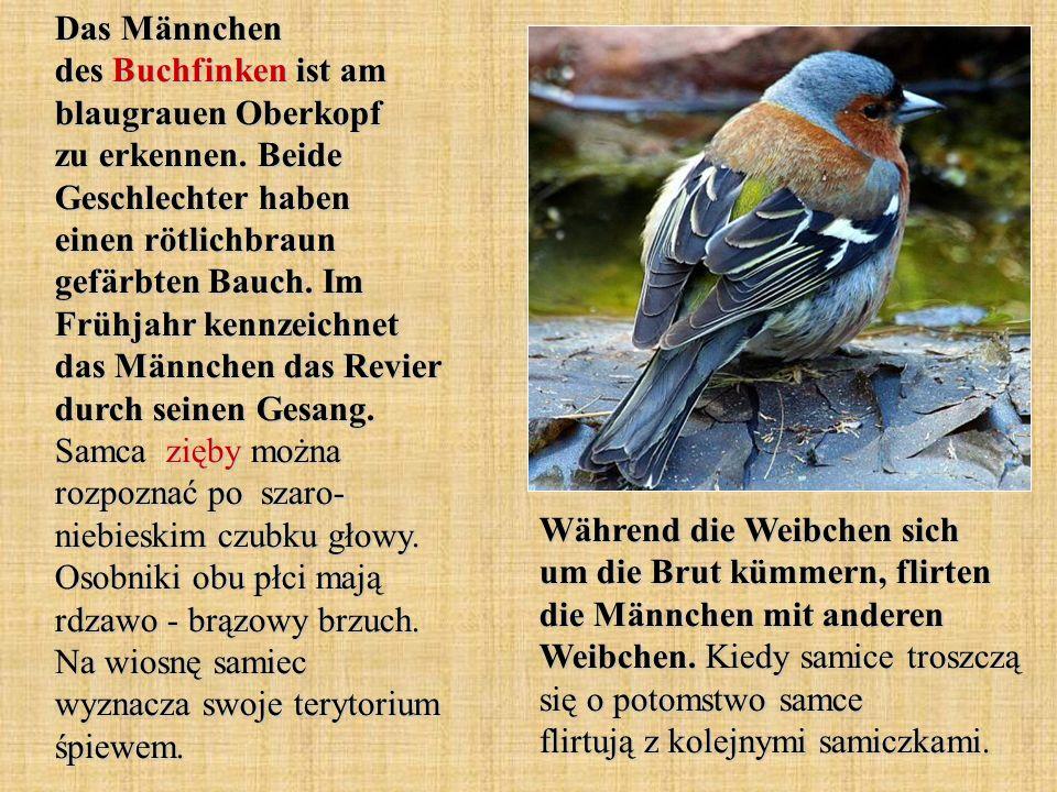 Das Männchen des Buchfinken ist am blaugrauen Oberkopf zu erkennen
