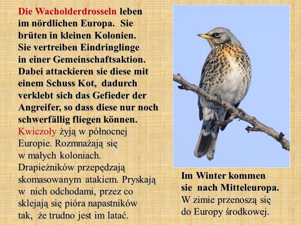 Die Wacholderdrosseln leben im nördlichen Europa