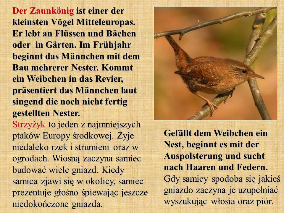 Der Zaunkönig ist einer der kleinsten Vögel Mitteleuropas