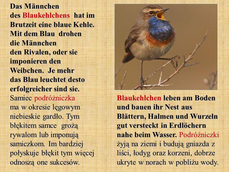 Das Männchen des Blaukehlchens hat im Brutzeit eine blaue Kehle
