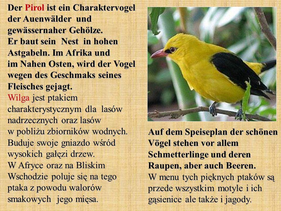 Der Pirol ist ein Charaktervogel der Auenwälder und gewässernaher Gehölze. Er baut sein Nest in hohen Astgabeln. Im Afrika und im Nahen Osten, wird der Vogel wegen des Geschmaks seines Fleisches gejagt. Wilga jest ptakiem charakterystycznym dla lasów nadrzecznych oraz lasów w pobliżu zbiorników wodnych. Buduje swoje gniazdo wśród wysokich gałęzi drzew. W Afryce oraz na Bliskim Wschodzie poluje się na tego ptaka z powodu walorów smakowych jego mięsa.