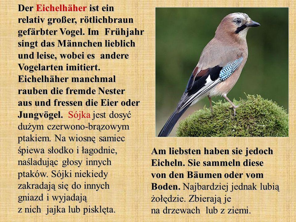 Der Eichelhäher ist ein relativ großer, rötlichbraun gefärbter Vogel
