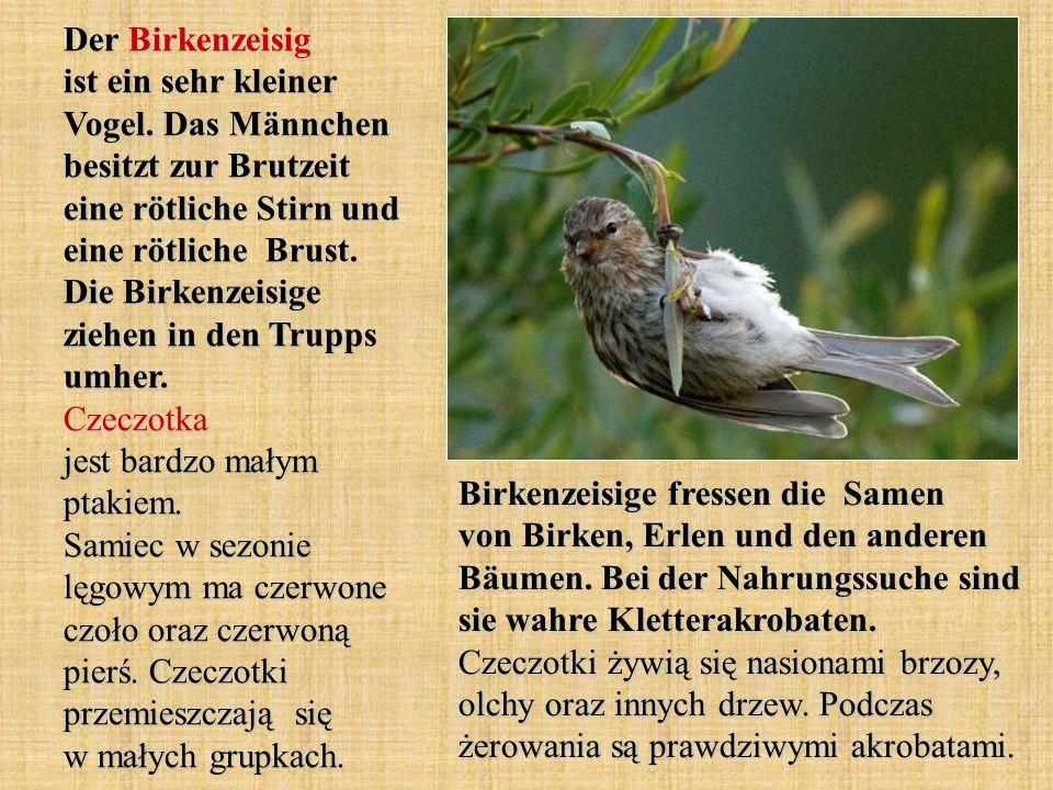 Der Birkenzeisig ist ein sehr kleiner Vogel